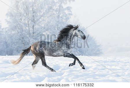 Dapple-grey Andalusian stallion gallop across snowy field