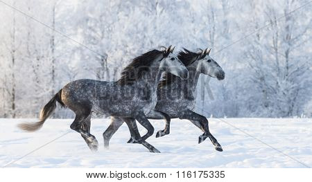 Two galloping dapple-grey Purebred Spanish horses