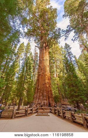 General Sherman Tree In Sequoia National Park, California Usa