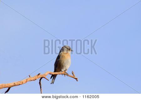 Tyrant Flycatcher