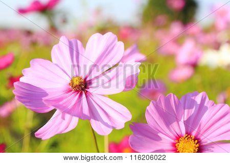 Beautiful cosmos flowers  in?Awaji Island, Hyogo Prefecture , Kansai, Japan poster