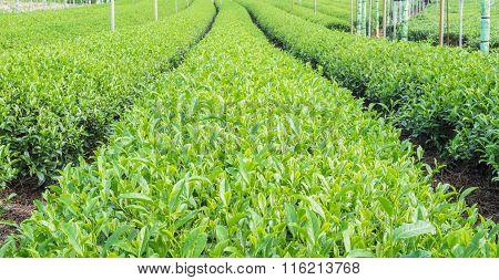 Green tea is rich farm,Tea leaves