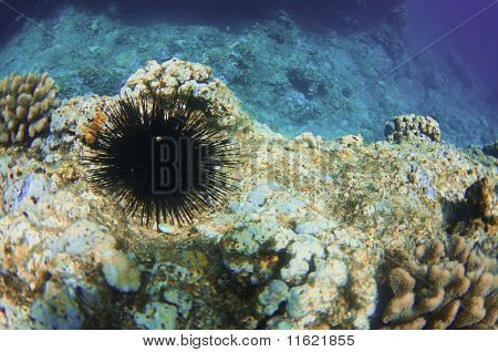 An urchin perches itself atop the shadows on a shelf of the North Shore of Oahu. Although beautiful urchins represent a danger to humans and can cause physical pain. If touched the spikes will become lodged in and under the skin and break off when attempt poster