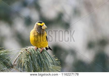 Evening Grosbeak Male, Coccothraustes Vespertinus