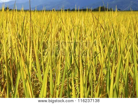 The close view of rice field
