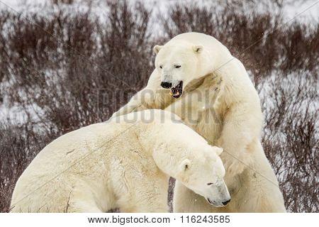 Polar Bear Roar And Fight