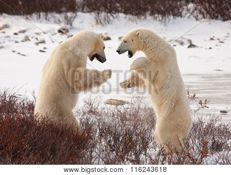 Polar Bears Sumo Wrestle sparring