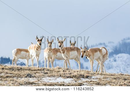 Pronghorn Herd on hilltop in front of snowy hill