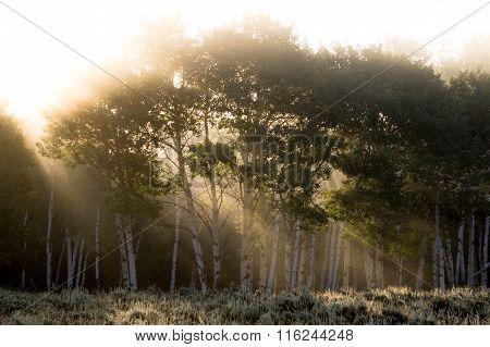 Sun Rays Shining Through Foggy Aspen Forest