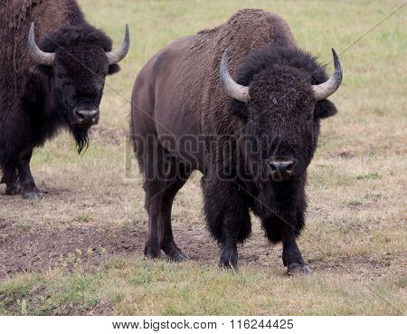 Two Bull Bison