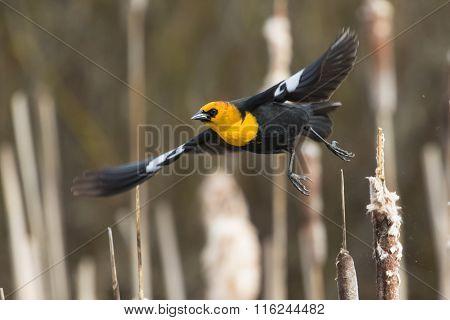 Yellow Headed Blackbird Takeoff