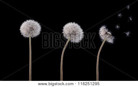 Three Swaying Dandelion