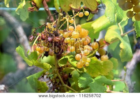 Burnt White Wine Grapes, Unpicked