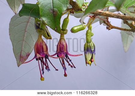 Tree Fuchsia Flowers