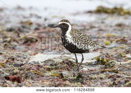 Pacific Golden Plover Standing On The Shore Of The Ocean Among Algae Discarded