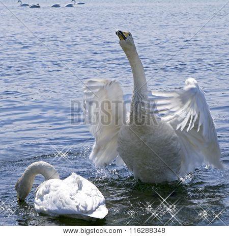 Inspired declaration of love white swan
