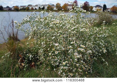Frost Asters