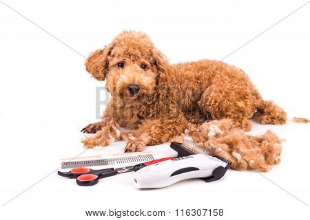 Grooming Accessories Of Clipper, Scissor, Comb, Brush With Poodle Dog