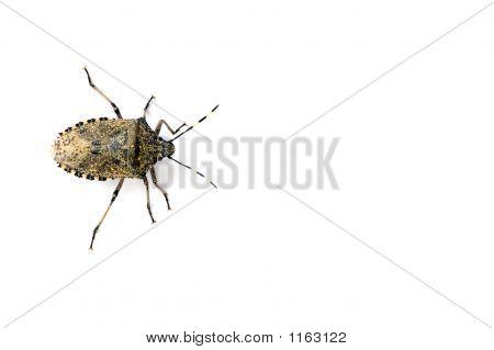 Isolated Housebug