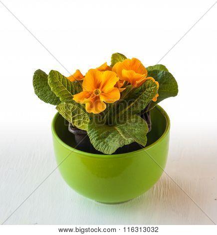 Bush Yellow Primrose In A Green Pot