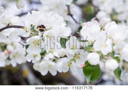 Bumble bee pollinating spring apple tree flowers