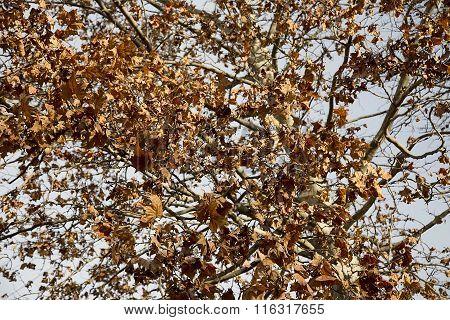 Autumnal plane tree.
