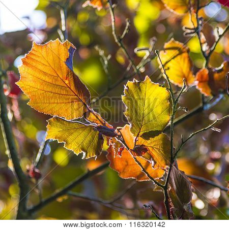 Hazelnut Leaf In Bright Colors