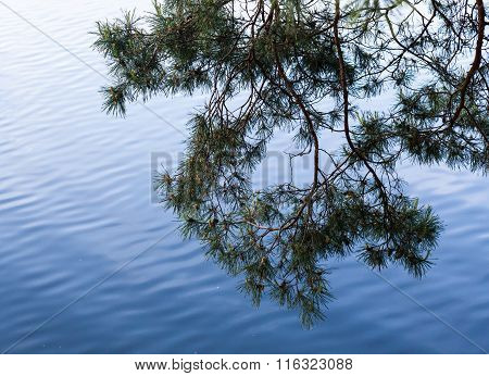 Pine Tree Branches Against The Water Surface