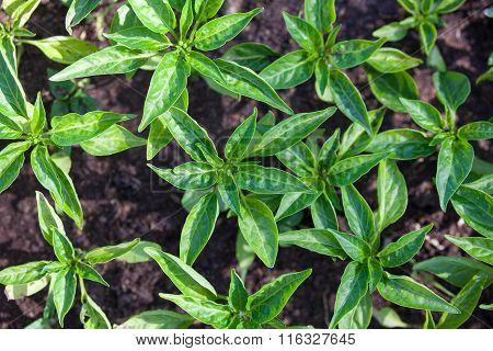 Seedlings Of The Bell Peppers (capsicum)