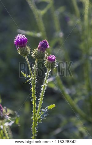 Blooming Thistle In The Meadow