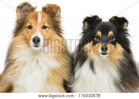 Two sheltie dogs