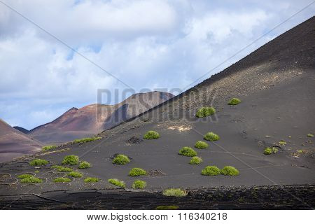 Sparse Vegetation In Volcanic Wine Area La Geria In Lanzarote