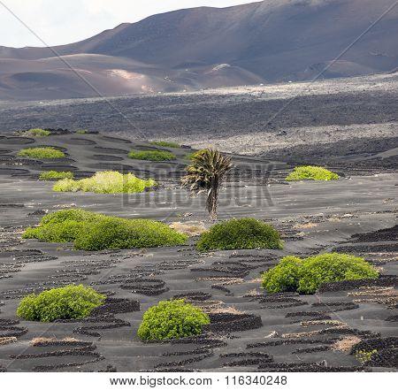 Palm Tree In Volcanic Wineyard Area La Geria In Lanzarote