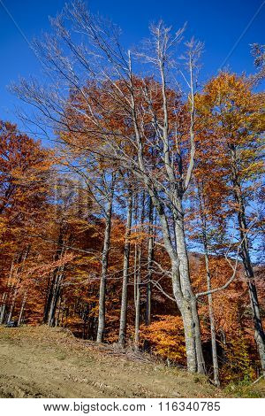 Autumn Trees In A Mountain Forest. Autumn Scene With Colorful Leaves On Great Trees Under The Clear