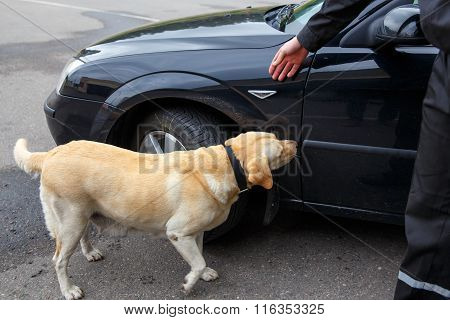 Labrador retriever Customs dog looking for items prohibited for transfer through the border