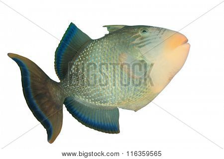 Tropical fish isolated white background: Yellowmargin Triggerfish