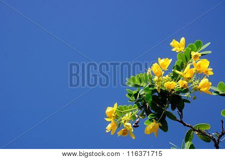 Senna Spectabilis With Blue Sky In Thailand