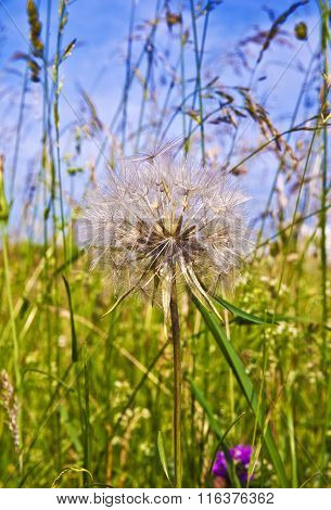 Beautiful Blowball Flower At The Meadow