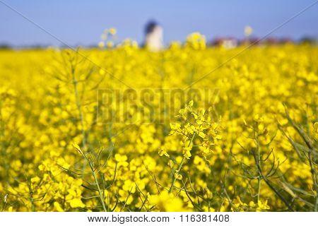Yellow Rape Field In Spring