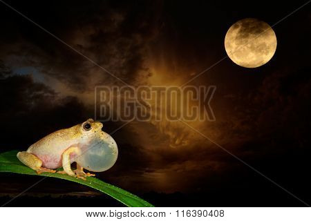African painted reed frog (Hyperolius marmoratus) calling during a moonlit night