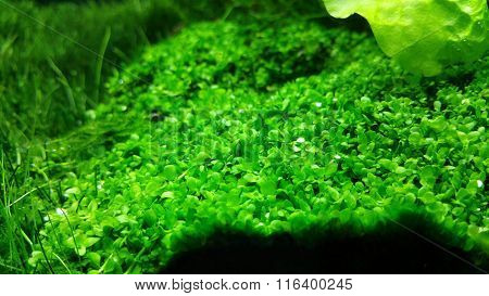 Green planted aquarium