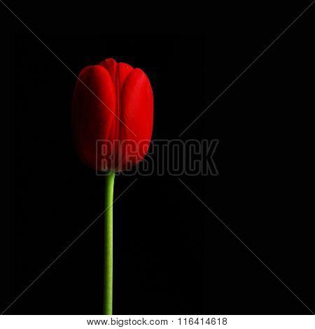 Tulip I.
