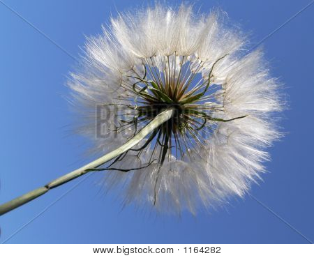 fluffy dandelion on the blue sky background poster