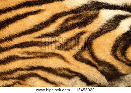 Closeup On Real Tiger Fur