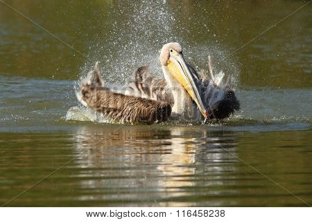 Great Pelican Playing On Lake
