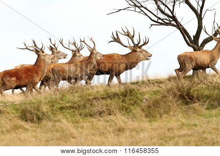 Herd Of Red Deers On The Hill
