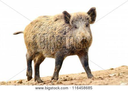 Isolated Walking Wild Boar