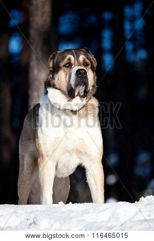 Alabai Dog Portrait