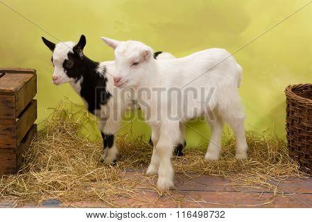 Ten days old little baby milk goats