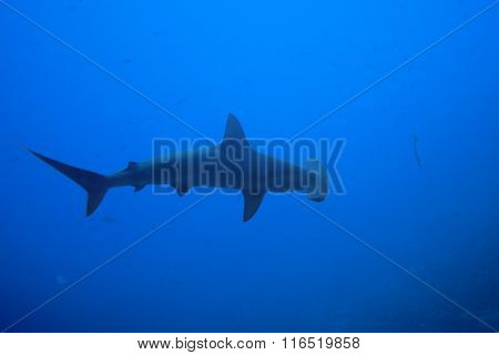 One hammerhead shark view from above in nature